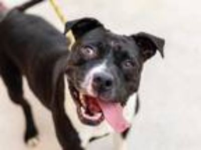 Adopt THELMA LOUISE a Black - with White American Pit Bull Terrier / Mixed dog