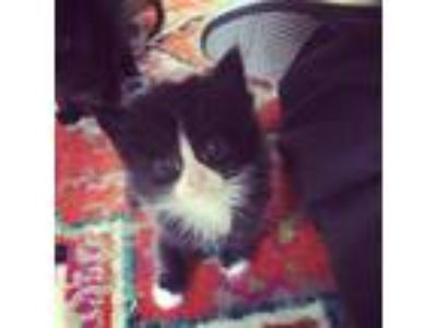 Adopt Alf a All Black Domestic Shorthair / Domestic Shorthair / Mixed cat in