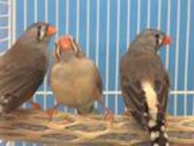 Adopt Meep a Gray Finch / Mixed bird in Woodbury, MN (25838145)