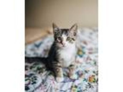 Adopt Cosmo a Domestic Shorthair cat in Conway, AR (25921176)