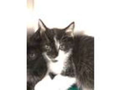 Adopt Angemon a Black & White or Tuxedo Domestic Shorthair (short coat) cat in