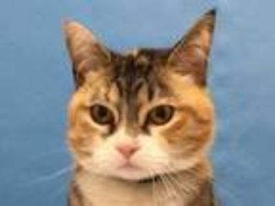Adopt Roz a White Domestic Shorthair / Domestic Shorthair / Mixed cat in