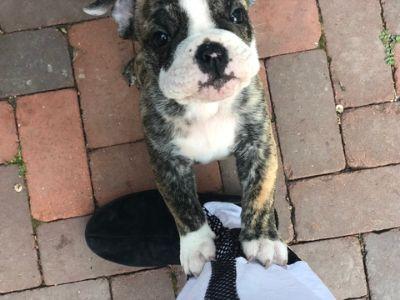 English Bulldogge PUPPY FOR SALE ADN-81313 - Beautiful Male Brindle Bulldog ready to go home