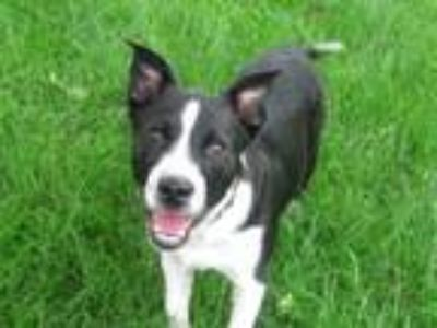 Adopt Danny a Border Collie