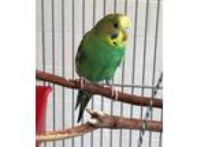 Adopt CHIPPY BIRD a Parakeet (Other)