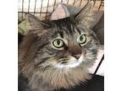 Adopt Nalani Jill a Gray, Blue or Silver Tabby Domestic Longhair (long coat) cat
