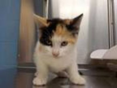 Adopt *ELLEN a Calico or Dilute Calico Domestic Shorthair / Mixed (short coat)