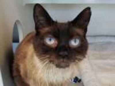 Adopt Beaudelaire a Brown or Chocolate Siamese / Domestic Shorthair / Mixed cat