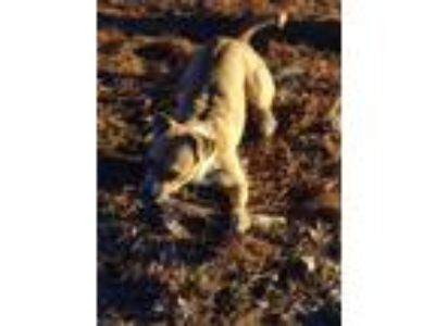 Adopt Bella a Tan/Yellow/Fawn - with White Bull Terrier / Bull Terrier / Mixed