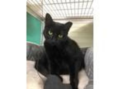 Adopt Ophelia a All Black Domestic Shorthair / Domestic Shorthair / Mixed cat in