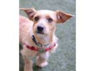 Adopt Milo a Terrier (Unknown Type, Medium) / Mixed dog in Novato, CA (25365094)