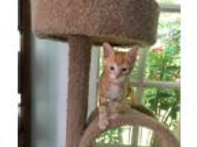 Adopt Salty a Orange or Red Tabby Domestic Shorthair (short coat) cat in
