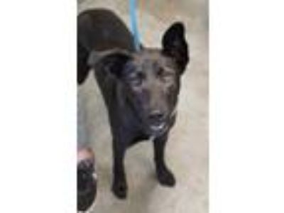 Adopt Star a Black Labrador Retriever / Shepherd (Unknown Type) / Mixed dog in