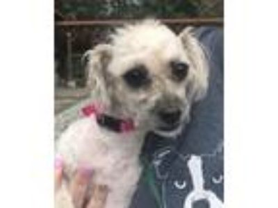 Adopt Mandy a Poodle, Terrier