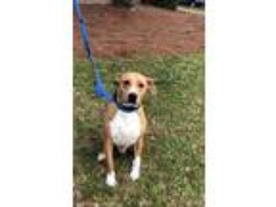 Adopt Brownie a Tan/Yellow/Fawn - with White Pit Bull Terrier / Mixed dog in