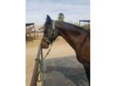 Adopt Eclipse a Arabian
