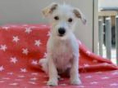 Adopt Fuchsia a White Jack Russell Terrier / Mixed dog in Los Angeles