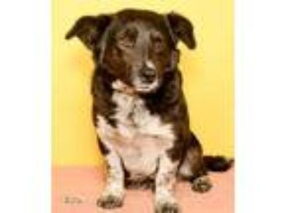Adopt Fae a Black Terrier (Unknown Type, Small) / Corgi / Mixed dog in Yakima