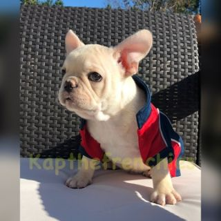 French Bulldog PUPPY FOR SALE ADN-101139 - Nico