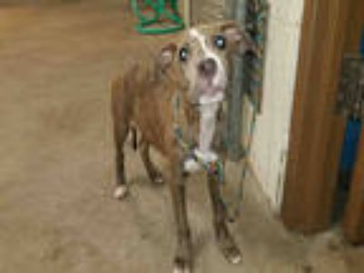 Adopt ELLA a Brown/Chocolate - with White American Pit Bull Terrier / Mixed dog