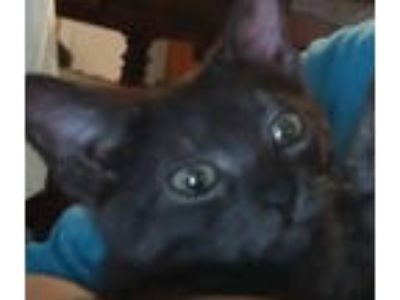 Adopt Muana (Heartly's twin sister) a Domestic Short Hair