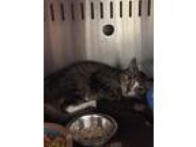 Adopt Sheba a Domestic Shorthair / Mixed (short coat) cat in Fall River
