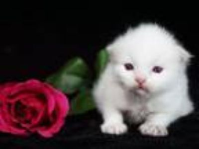 USARagdolls Com Texas Ragdoll Kittens For Sale