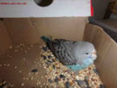 Adopt LATTE a Blue Parakeet - Other / Mixed bird in Van Nuys, CA (25903811)