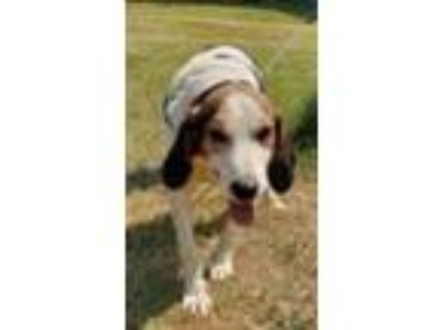 Adopt Barclay a Foxhound / Hound (Unknown Type) / Mixed dog in Canton