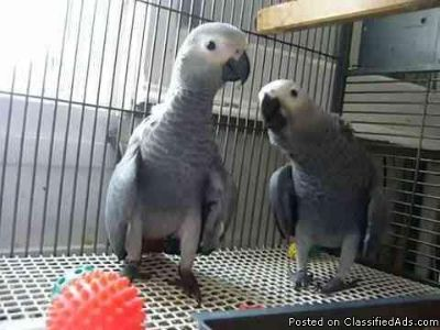 Cute and Affectionate African grew parrots