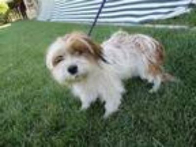 Adopt BLOSSOM a Shih Tzu / Terrier (Unknown Type, Small) / Mixed dog in Lindsay