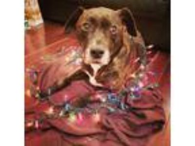 Adopt Roscoe a Brindle - with White Boxer / Boxer / Mixed dog in New York