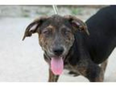 Adopt Janey a Brindle Labrador Retriever / Mountain Cur / Mixed dog in Joliet