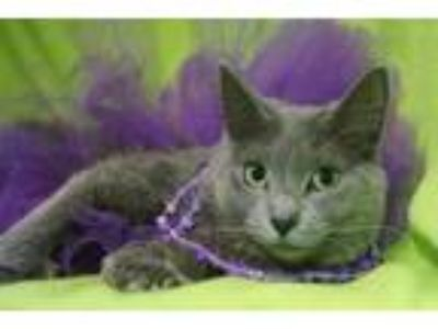 Adopt Lupe a Gray or Blue Domestic Longhair / Domestic Shorthair / Mixed cat in