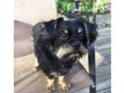 Adopt Paisley a Yorkshire Terrier