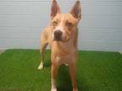 Adopt CHARLIE a Tan/Yellow/Fawn - with White Husky / Mixed dog in St.