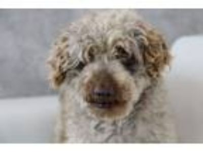 Adopt Roger a Poodle