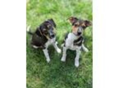 Adopt Silas and Theo a Shepherd