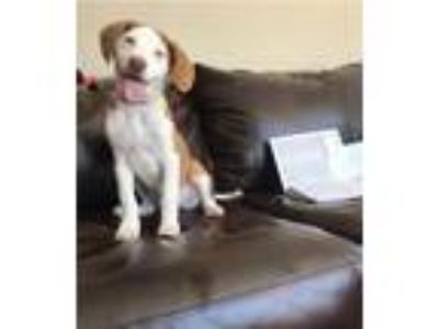Adopt Belle a Tan/Yellow/Fawn - with White Labrador Retriever / American Pit