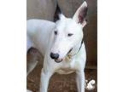 Adopt Gary a White Bull Terrier / Mixed dog in Lihue, HI (25791078)
