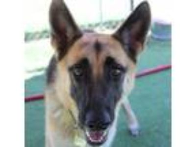 Adopt Diana a German Shepherd Dog