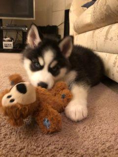 Siberian Husky PUPPY FOR SALE ADN-107382 - 10 week Siberian Husky