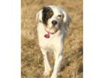 Adopt Precious- Foster to Adopt a English Setter
