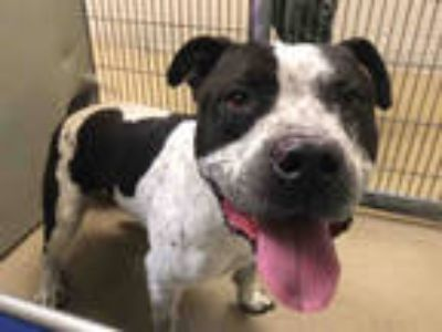 Adopt MITCHELL a White - with Black American Pit Bull Terrier / Mixed dog in