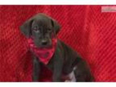 King - Black Great Dane MALE - Check me out!