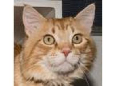 Adopt Gibson a Orange or Red Tabby Domestic Longhair (long coat) cat in