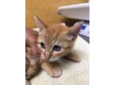Adopt Dante a Orange or Red Domestic Shorthair / Domestic Shorthair / Mixed