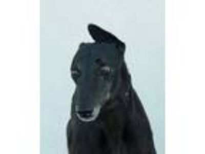 Adopt Munster a Greyhound