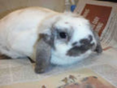 Adopt a Black Mini Lop / Mixed rabbit in San Jose, CA (25928777)