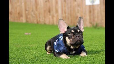 French Bulldog PUPPY FOR SALE ADN-96063 - French Bulldog